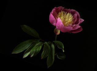 обоя цветы, пионы, флора, цветок, пион