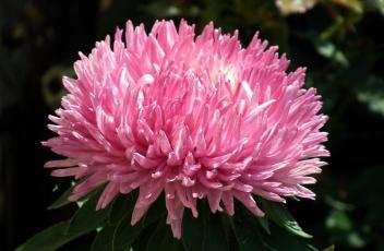 обоя цветы, астры, розовый, макро