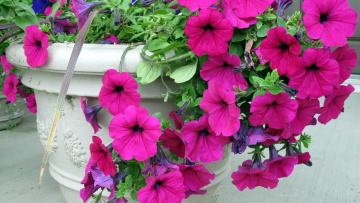 обоя цветы, петунии,  калибрахоа, розовый