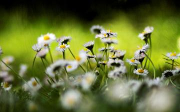 обоя цветы, ромашки, полевые, белые, трава