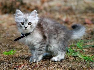 Картинка животные коты девушка птицы пушистый серый ошейник котенок