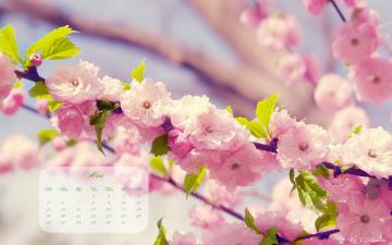 обоя календари, цветы, сакура