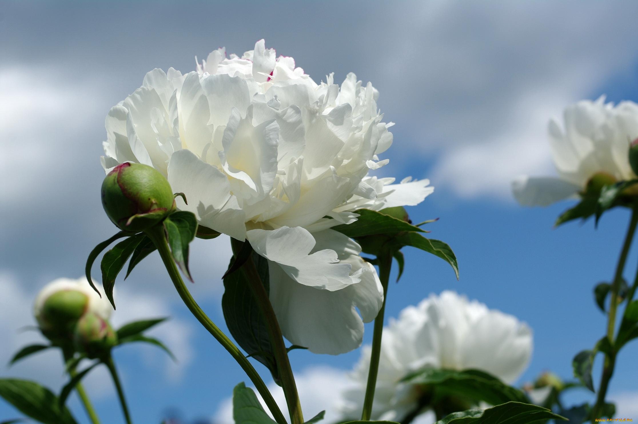 Цветов, картинки цветов пионы белые