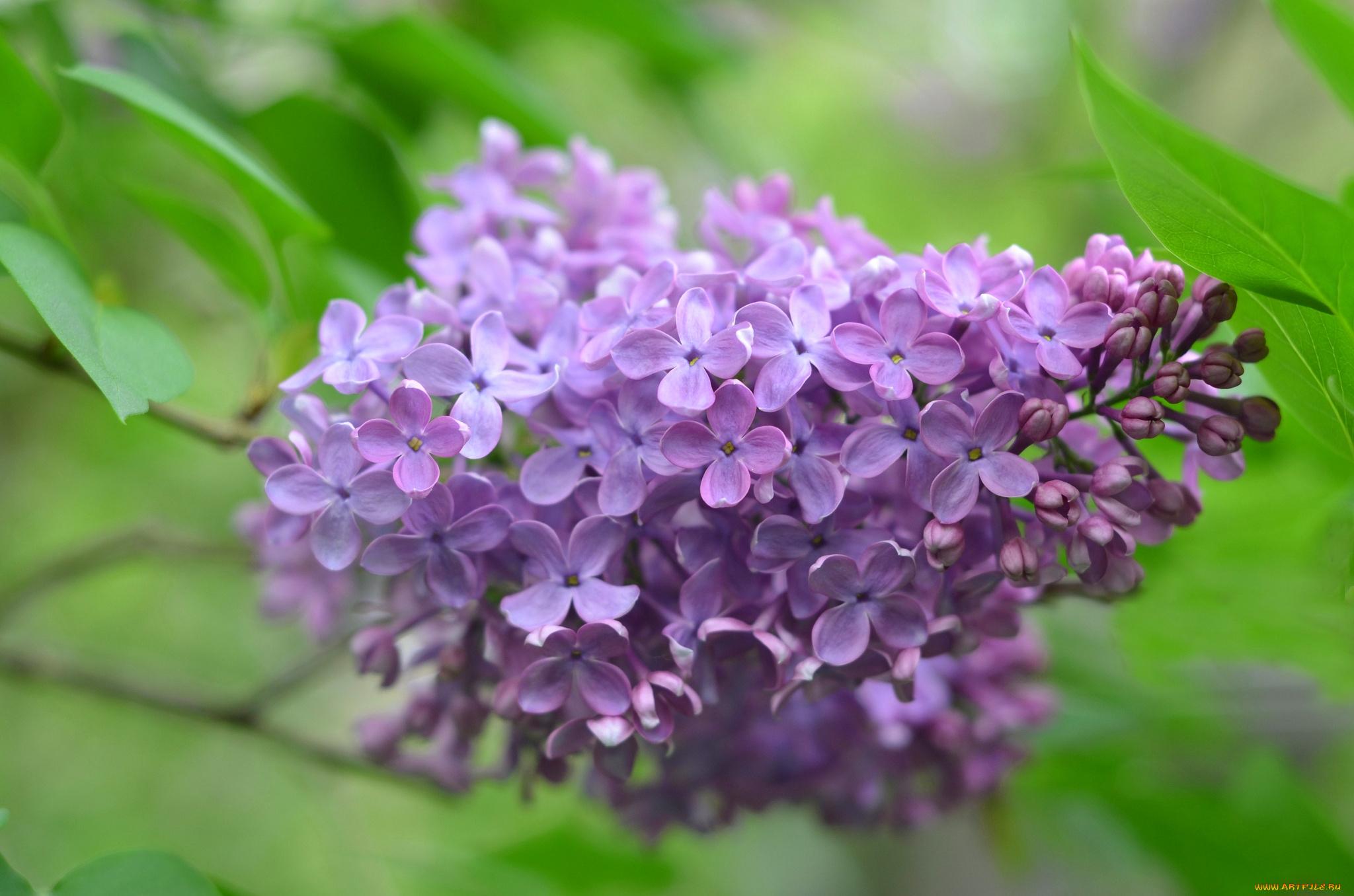 сирень ветки цветущая скачать