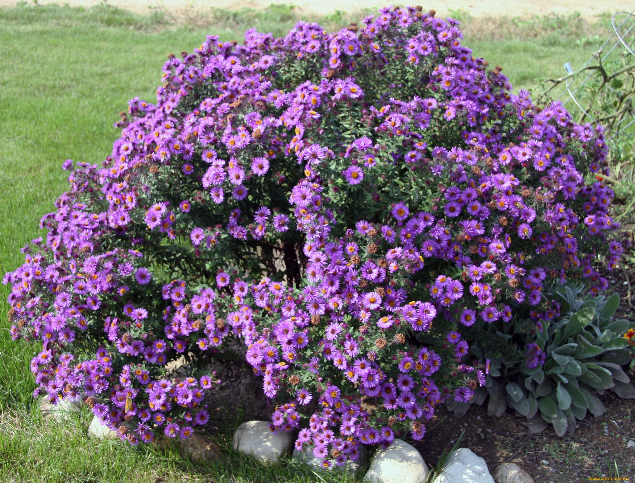 Кустовые многолетние цветы фото