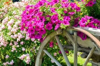 обоя цветы, петунии,  калибрахоа, телега, розовый, много