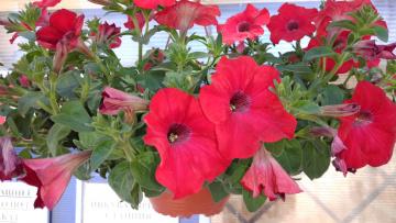 обоя цветы, петунии,  калибрахоа, красные
