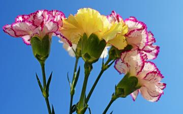 обоя цветы, гвоздики, крупным, планом, фон, синий