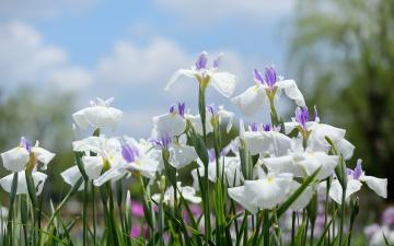 обоя цветы, ирисы, лепестки, белые