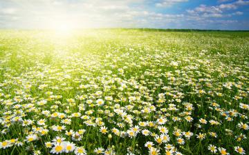обоя цветы, ромашки, поле, солнце
