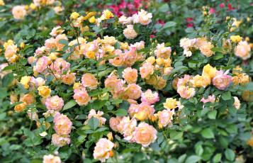 Картинка цветы розы много