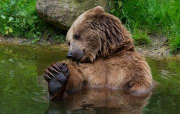 обоя животные, медведи, трава, камень, водоем