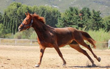 Картинка животные лошади пыль загон галоп рыжая лошадь