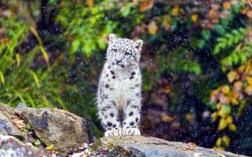обоя животные, снежный барс , ирбис, дождь, камень, котенок, барс