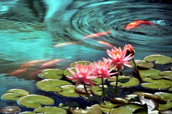 Картинка цветы лилии водяные нимфеи кувшинки вода рыбы кои розовый