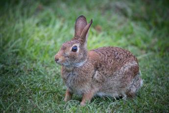 обоя животные, кролики,  зайцы, природа, ушки, трава, животное, кролик