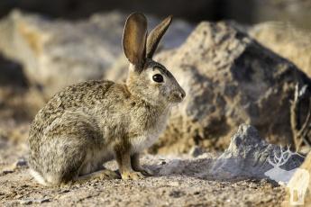 обоя животные, кролики,  зайцы, природа, ушки, животное, кролик