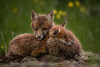 обоя животные, лисы, хитра, лиса, опасна, шерсть, окрас, шкура