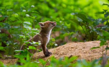 обоя животные, лисы, лисёнок