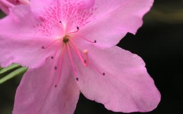 обоя цветы, рододендроны , азалии, azalea, pink