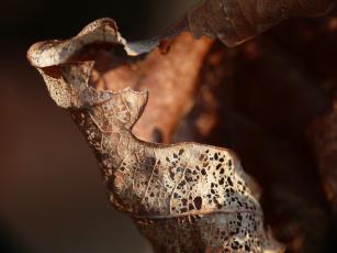 Картинка природа листья макро коричневый лист сухой дырявый