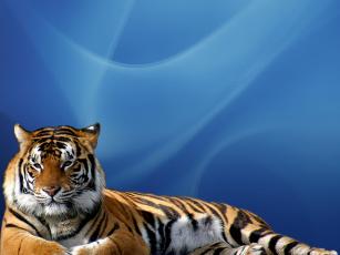 обоя tigr, животные, тигры