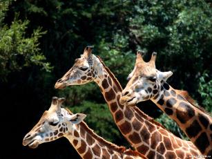 обоя животные, жирафы