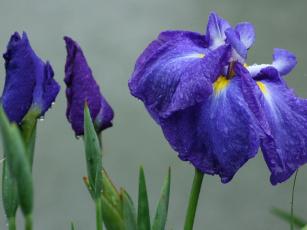 Картинка цветы ирисы