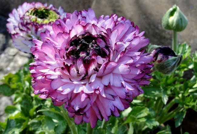 Лютики-цветочки / природа, цветы, красивое, красота природы
