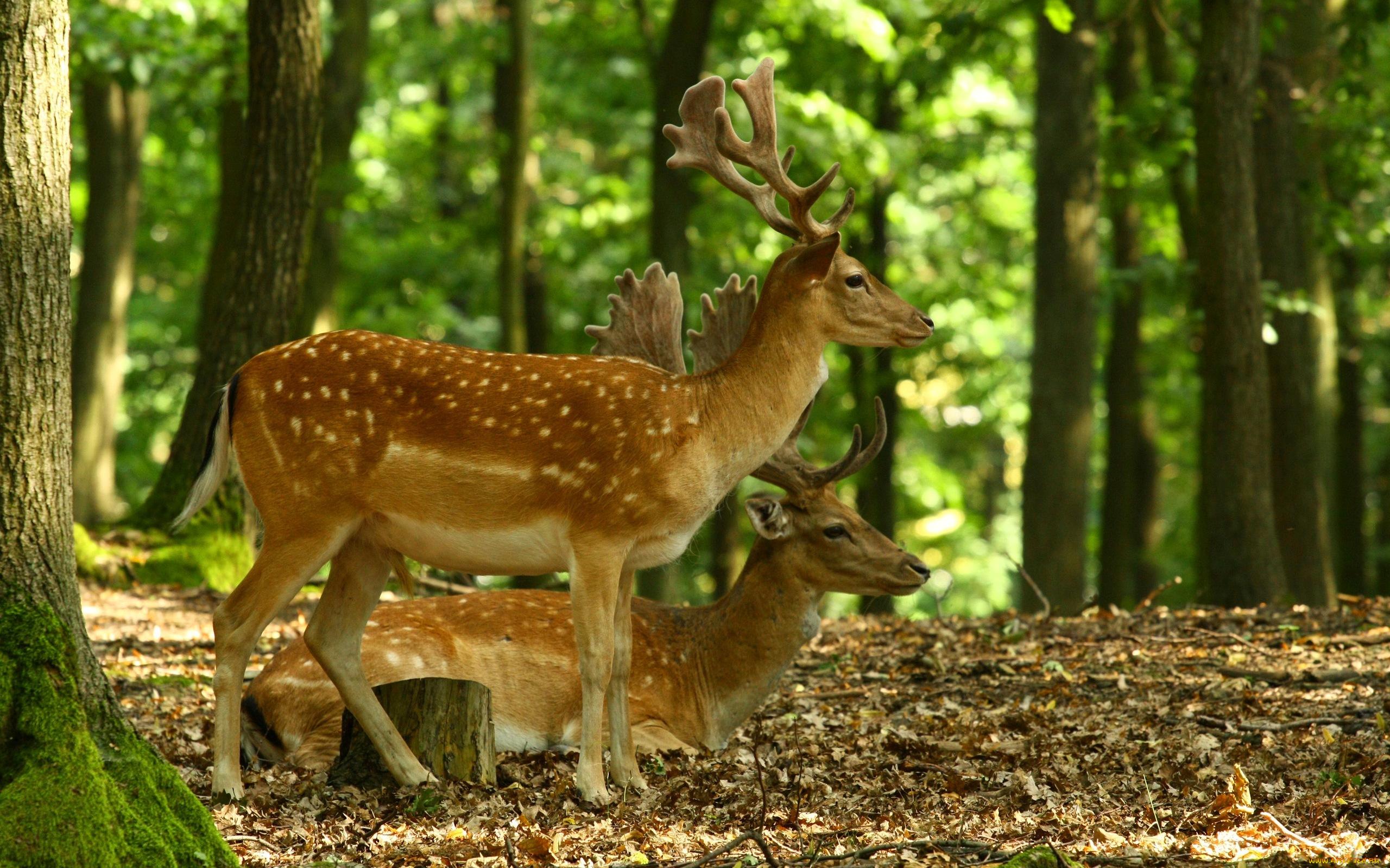 природа лес олень животное деревья загрузить