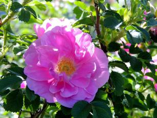 обоя цветы, шиповник, розовый, макро
