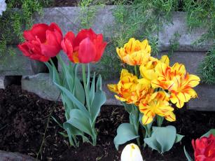 обоя цветы, тюльпаны, пестрый