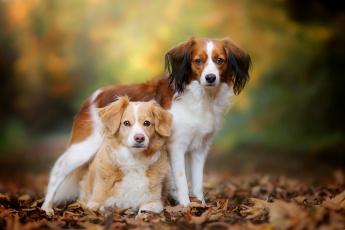 обоя животные, собаки, боке, коикерхондье, осень, листья, парочка, бретонский, эпаньоль