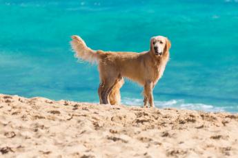 обоя животные, собаки, животное, вода, песок