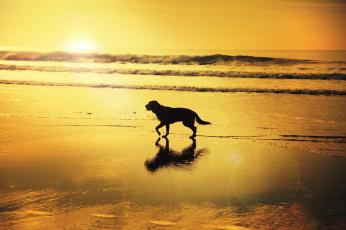 обоя животные, собаки, солнечный, отражение, пляж, волны, тень, восход, собака
