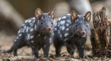 обоя животные, крысы,  мыши, кволлы, пара, пень