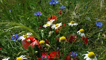 обоя цветы, луговые , полевые,  цветы, ромашки, трава, маки, васильки