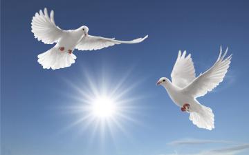 обоя животные, голуби, птицы, небо, белые