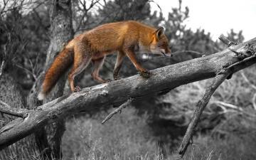 обоя животные, лисы, морда, взгляд, лиса