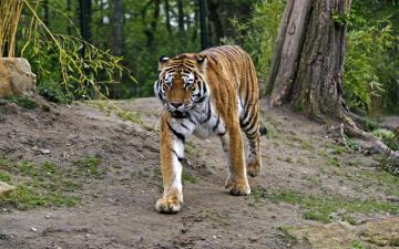обоя животные, тигры, природа, тигр