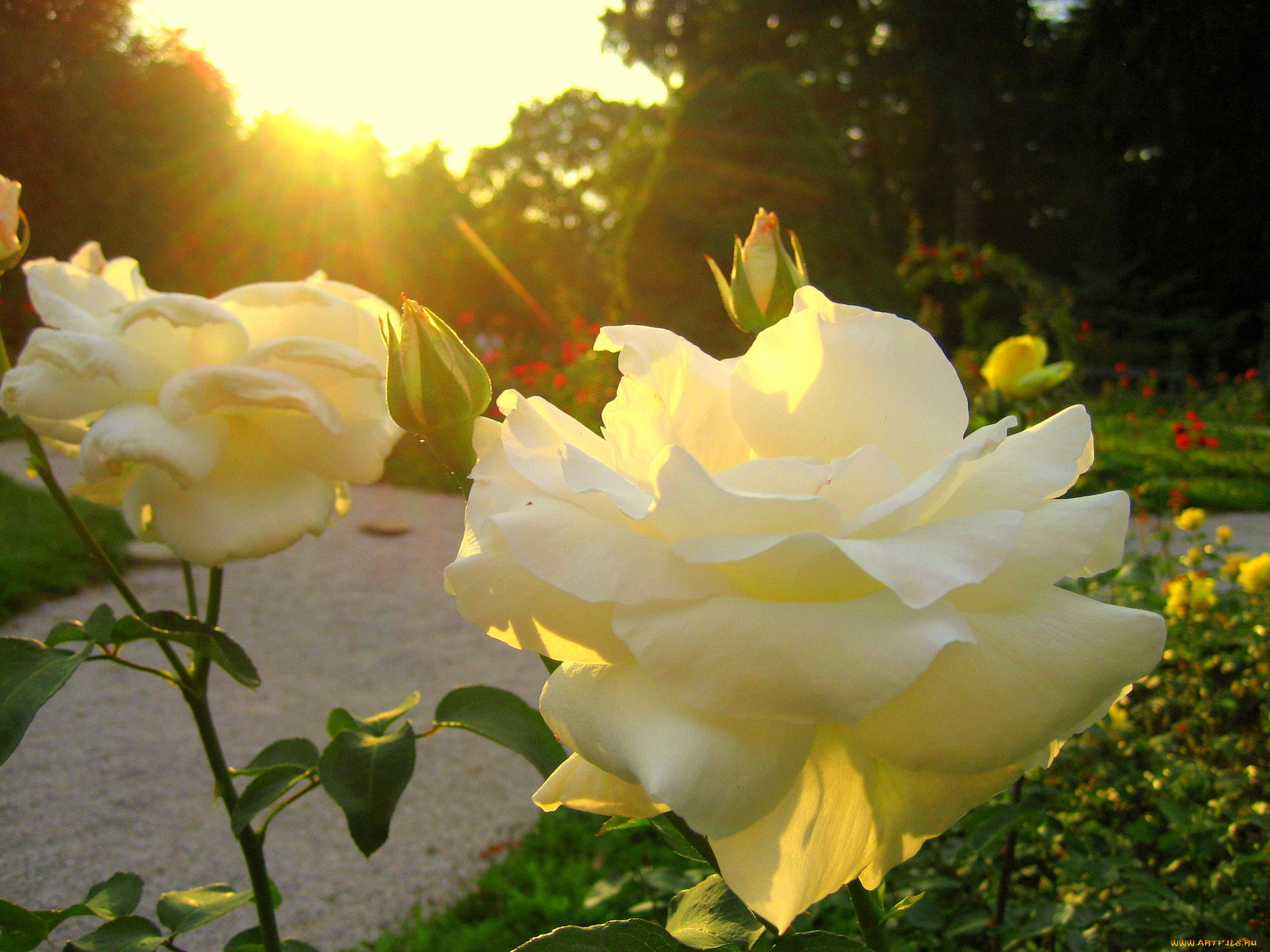 Розы в солнечных лучах картинки