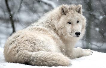 Картинка животные волки красавец арктический белый