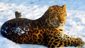Картинка леопард на снегу животные леопарды лежит смотрит снег