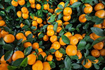 Картинка природа плоды цитрусы