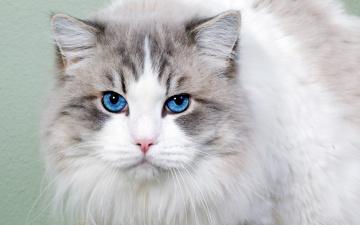 Картинка животные коты взгляд голубые глаза