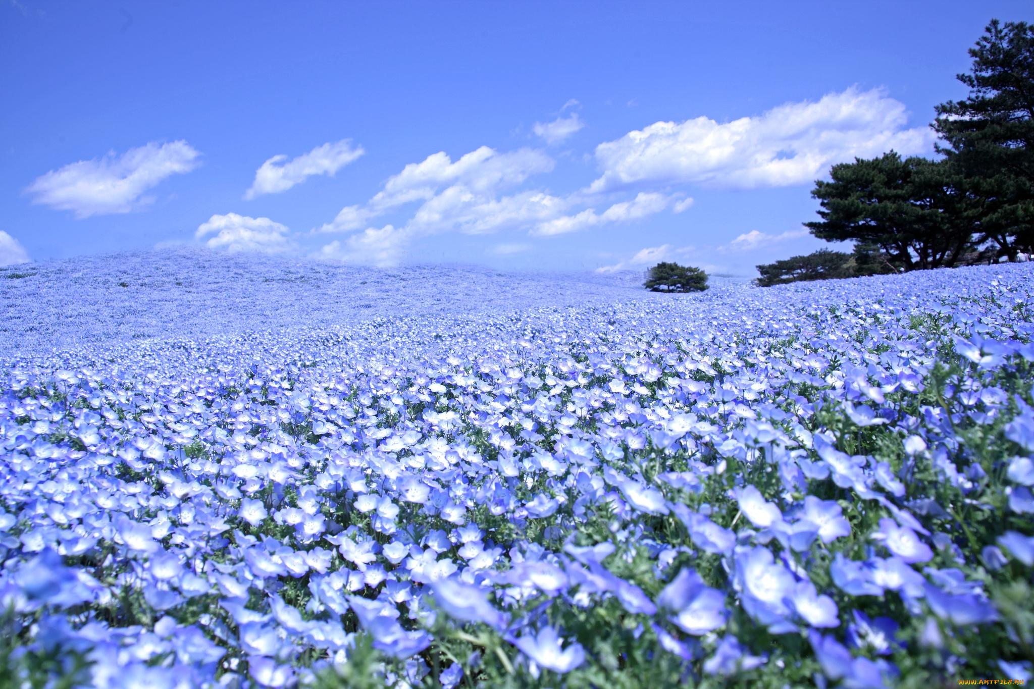 Синие цветы с названиями - Фото цветов 96