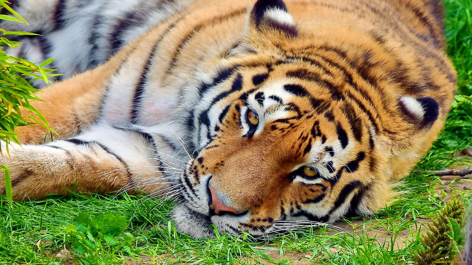 Тигр лежа в траве без смс