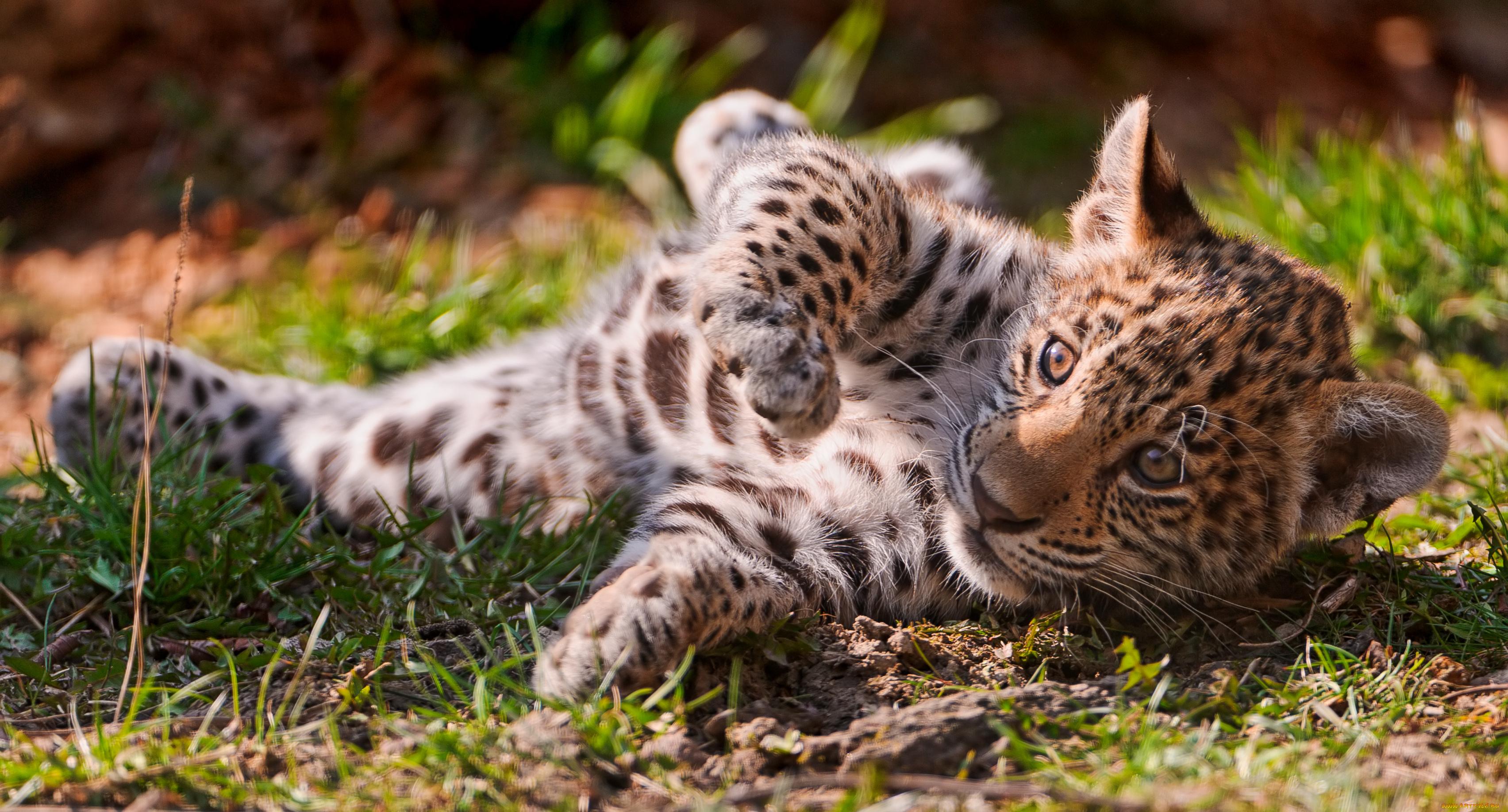 ягуар на лужайке без смс
