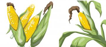 Картинка векторная+графика другое+ other фон кукуруза