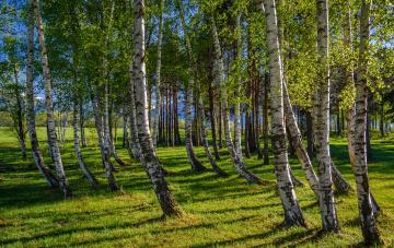 Картинка природа лес стволы деревья